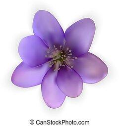 snowdrop, flower., naturalista, colorido, bluebell, vector, ...