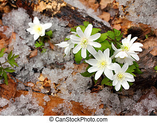 snowdrop flowers and melting snow in forest