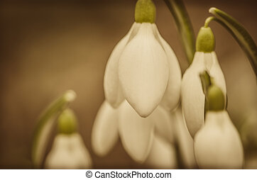 snowdrop flowers close-up