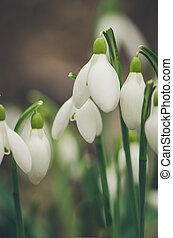 snowdrop flowers detail