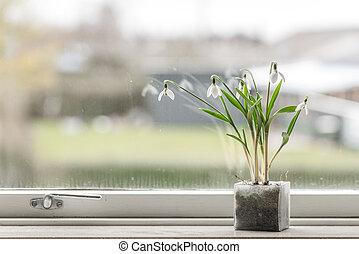 Snowdrop flowers in a dirty window