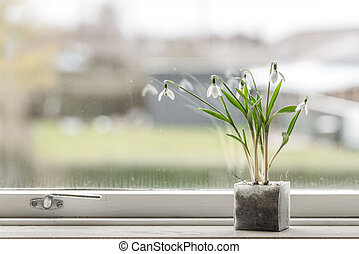 Snowdrop flowers in a dirty window