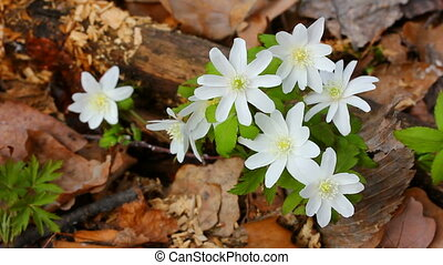 snowdrop flowers in forest