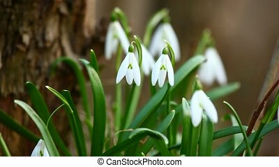 Snowdrop flowers in spring - Bunch of snowdrops, the first...