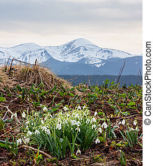 Snowdrop flowers in spring mountains