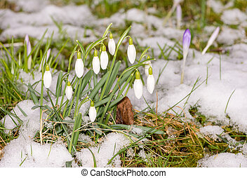 Snowdrop flowers in the snow