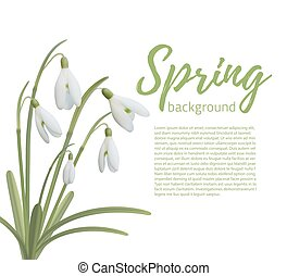 Snowdrop flowers isolated on white.