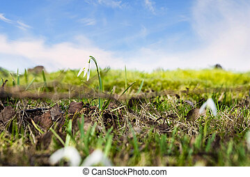 Snowdrop flowers on a green meadow in the spring