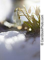 Snowdrop (Galanthus nivalis) in the snow