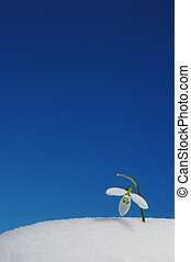Snowdrop growing in snow