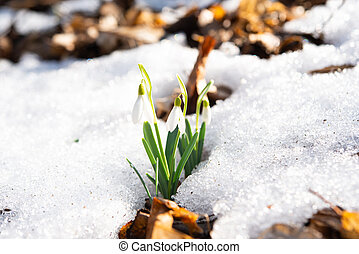 snowdrop growing in the forest