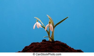 Snowdrop grown in soil and spins on a blue background