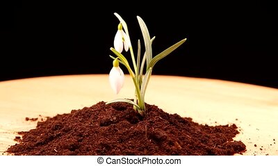 Snowdrop grown in soil and spins on a black background