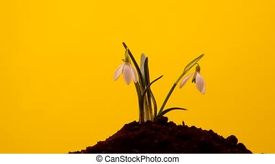 Snowdrop grown in soil and spins on a yellow background