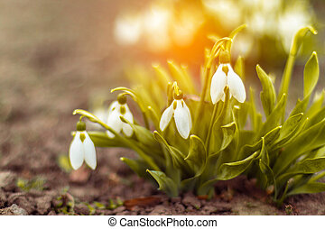 Snowdrop in a forest glade.