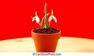 Snowdrop in flower pot - Snowdrop in a flower pot on a red...