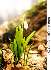 snowdrop in spring