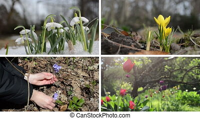 Snowdrop saffron violet and tulip flowers. Video collage -...