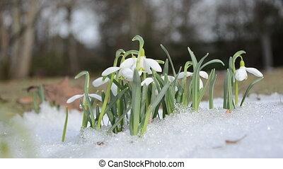 snowdrop snowflake snow - first spring snowdrop snowflake...