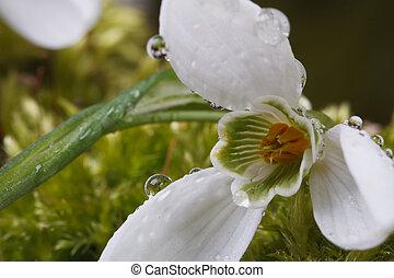 Snowdrop with drops of dew macro.