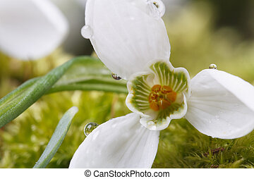 Snowdrop with drops of water macro. horizontal