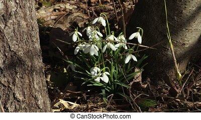 snowdrops, весна, лес
