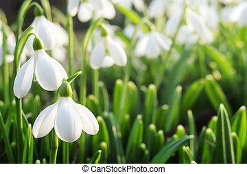 snowdrops, 春
