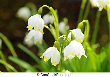 snowdrops, 春, 美しい