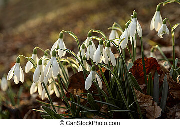 snowdrops blooming on hillside - cluster of white snowdrops...