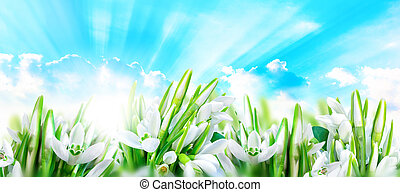 Snowdrops flower blossom panorama background