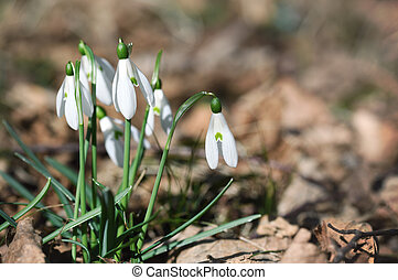 Snowdrops flowers close up