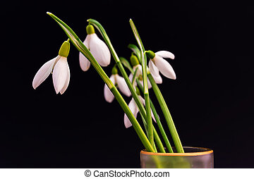Snowdrops flowers in a vase