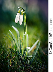 Snowdrops in a meadow