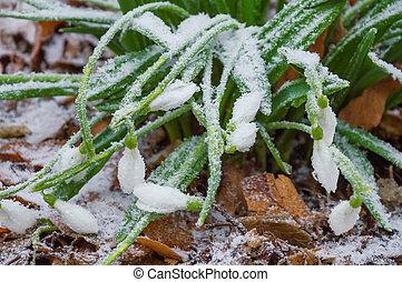 Snowdrops in hoarfrost