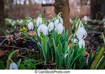 Snowdrops in the garden in february