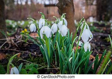 Snowdrops in the garden in february