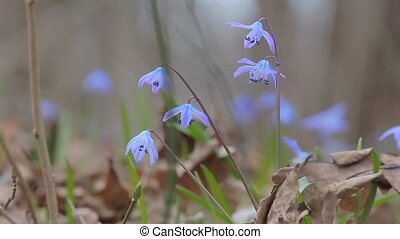Snowdrops in the Spring Forest