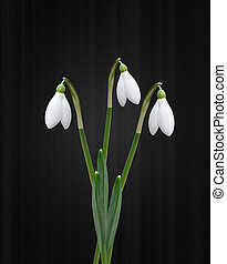 Snowdrops on black background