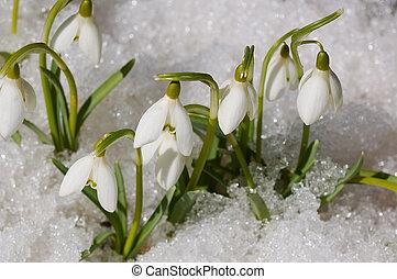 snowdrops on snow