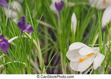 Snowdrops spring flowers in the grass. Snowdrop is a symbol of spring