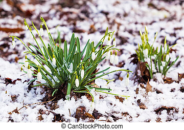 snowdrops under the snow. flowers blooming in winter
