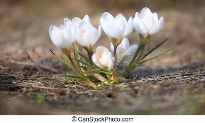 Snowdrops white time-lapse photography HD 1280 - Snowdrops...