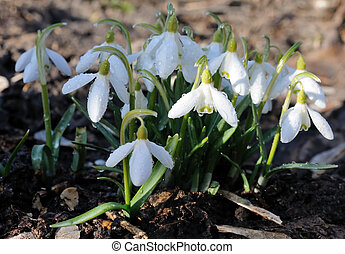 Snowdrops with drops of water