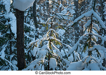 Snowed Pine branches in sun light. Winter sunset in the forest.