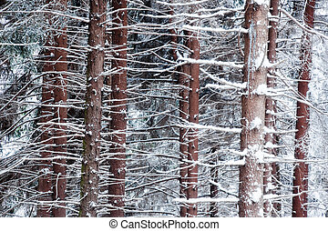 Snowed pine tree trunks