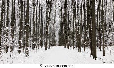 Snowfall in pine wood at christmas