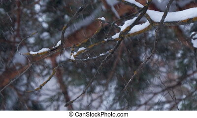 Snowfall in winter forest. Mossy branches on background.