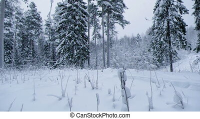 snowfall . - snowfall .Winter landscape.Winter beauty scene....