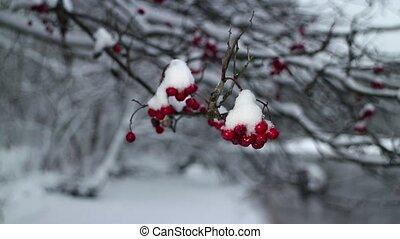 winter storm red berries mountain ash - snowfall winter...