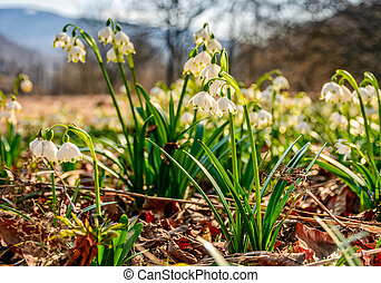 snowflake, first flowers of spring - first flowers in...